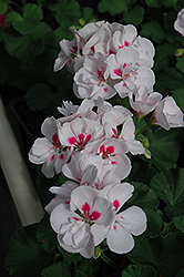 Maestro White Splash Geranium (Pelargonium 'Maestro White Splash') at Hicks Nurseries