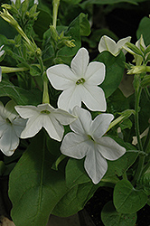 Saratoga White Flowering Tobacco (Nicotiana 'Saratoga White') at Hicks Nurseries