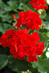 Patriot Bright Red Geranium (Pelargonium 'Patriot Bright Red') at Hicks Nurseries