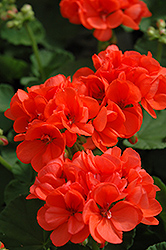 Patriot Orange Geranium (Pelargonium 'Patriot Orange') at Hicks Nurseries