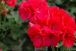 Maestro Cherry Geranium (Pelargonium 'Maestro Cherry') at Hicks Nurseries
