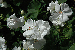 Maestro White Geranium (Pelargonium 'Maestro White') at Hicks Nurseries