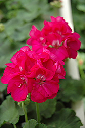 Maestro Deep Lavender Geranium (Pelargonium 'Maestro Deep Lavender') at Hicks Nurseries