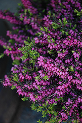 Kramer's Rote Heath (Erica carnea 'Kramer's Red') at Hicks Nurseries