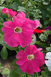 Dreams Coral Morn Petunia (Petunia 'Dreams Coral Morn') at Hicks Nurseries