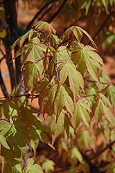 Osakazuki Japanese Maple (Acer palmatum 'Osakazuki') at Hicks Nurseries