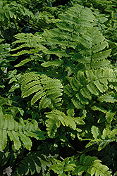 Shaggy Shield Fern (Dryopteris cycadina) at Hicks Nurseries
