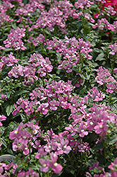 Compact Pink Innocence Nemesia (Nemesia 'Compact Pink Innocence') at Hicks Nurseries