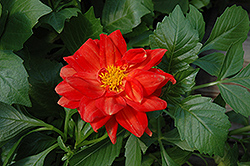 Figaro™ Red Dahlia (Dahlia 'Figaro Red') at Hicks Nurseries