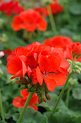 Allure Tangerine Geranium (Pelargonium 'Allure Tangerine') at Hicks Nurseries