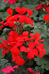 Orange Ivy Leaf Geranium (Pelargonium peltatum 'Orange') at Hicks Nurseries