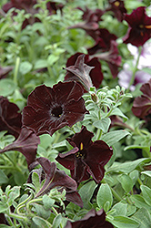 Sweetunia Black Satin Petunia (Petunia 'Sweetunia Black Satin') at Hicks Nurseries
