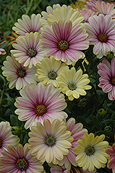 Summertime Sunrise African Daisy (Osteospermum 'Summertime Sunrise') at Hicks Nurseries