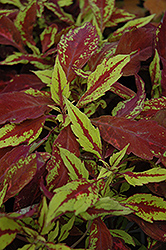 Pineapple Coleus (Solenostemon scutellarioides 'Pineapple') at Hicks Nurseries