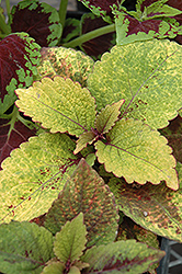 Honey Crisp Coleus (Solenostemon scutellarioides 'Honey Crisp') at Hicks Nurseries