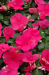 Super Elfin® Lipstick Impatiens (Impatiens walleriana 'Super Elfin Lipstick') at Hicks Nurseries