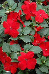 Super Elfin® Red Impatiens (Impatiens walleriana 'Super Elfin Red') at Hicks Nurseries