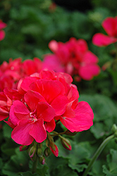 Designer Salmon Rose Geranium (Pelargonium 'Designer Salmon Rose') at Hicks Nurseries