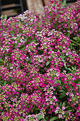 Wonderland Rose Alyssum (Lobularia maritima 'Wonderland Rose') at Hicks Nurseries
