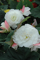Nonstop® Appleblossom Begonia (Begonia 'Nonstop Appleblossom') at Hicks Nurseries