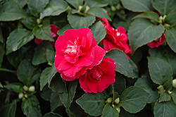 Fiesta Ole Rose Double Impatiens (Impatiens 'Fiesta Ole Rose') at Hicks Nurseries