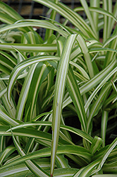 Spider Plant (Chlorophytum comosum) at Hicks Nurseries
