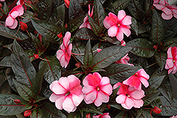 Super Sonic Sweet Cherry New Guinea Impatiens (Impatiens hawkeri 'Super Sonic Sweet Cherry') at Hicks Nurseries