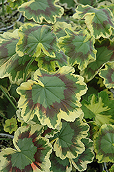 Tricolor Geranium (Pelargonium 'Tricolor') at Hicks Nurseries