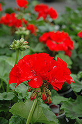 Rocky Mountain Red Geranium (Pelargonium 'Rocky Mountain Red') at Hicks Nurseries