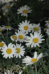 Angelic White Chic Marguerite Daisy (Argyranthemum frutescens 'Angelic White Chic') at Hicks Nurseries