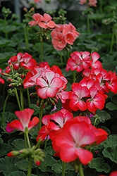Ringo 2000 Scarlet Star Geranium (Pelargonium 'Ringo 2000 Scarlet Star') at Hicks Nurseries
