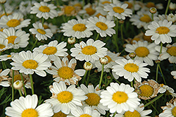 Madeira White Marguerite Daisy (Argyranthemum frutescens 'Madeira White') at Hicks Nurseries