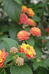 Confetti Lantana (Lantana camara 'Confetti') at Hicks Nurseries