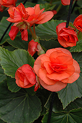 Solenia® Orange Begonia (Begonia 'Solenia Orange') at Hicks Nurseries