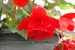 Illumination® Scarlet Begonia (Begonia 'Illumination Scarlet') at Hicks Nurseries