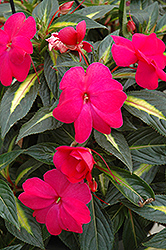 Sonic® Hot Rose on Gold New Guinea Impatiens (Impatiens 'Sonic Hot Rose on Gold') at Hicks Nurseries