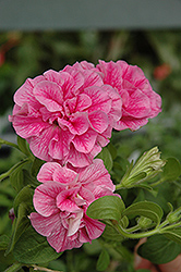 Double Wave Pink Petunia (Petunia 'Double Wave Pink') at Hicks Nurseries