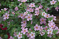 Snowstorm® Pink Bacopa (Sutera cordata 'Snowstorm Pink') at Hicks Nurseries