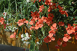 Flirtation® Orange Diascia (Diascia 'Flirtation Orange') at Hicks Nurseries