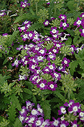 Obsession Blue With Eye Verbena (Verbena 'Obsession Blue With Eye') at Hicks Nurseries