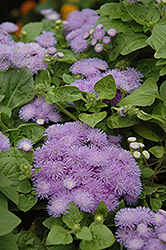 Hawaii Blue Flossflower (Ageratum 'Hawaii Blue') at Hicks Nurseries