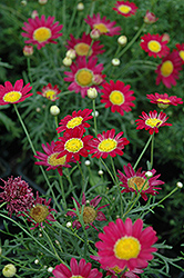 Madeira Red Marguerite Daisy (Argyranthemum frutescens 'Madeira Red') at Hicks Nurseries