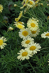 Madeira Crested Yellow Marguerite Daisy (Argyranthemum frutescens 'Madeira Crested Yellow') at Hicks Nurseries