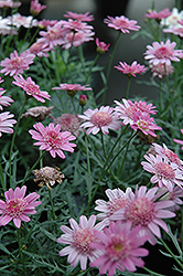 Madeira Crested Violet Marguerite Daisy (Argyranthemum frutescens 'Madeira Crested Violet') at Hicks Nurseries