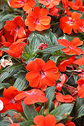 Posh Orange New Guinea Impatiens (Impatiens 'Posh Orange') at Hicks Nurseries