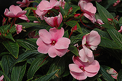 Posh Pink New Guinea Impatiens (Impatiens 'Posh Pink') at Hicks Nurseries