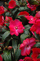 Posh Carmine New Guinea Impatiens (Impatiens 'Posh Carmine') at Hicks Nurseries