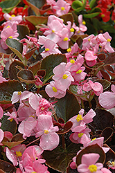 Harmony Pink Begonia (Begonia 'Harmony Pink') at Hicks Nurseries