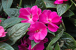 Celebration Purple New Guinea Impatiens (Impatiens hawkeri 'Celebration Purple') at Hicks Nurseries