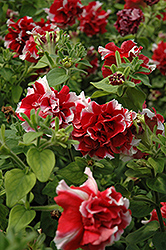 Madness Red And White Double Petunia (Petunia 'Madness Red And White Double') at Hicks Nurseries
